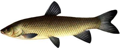 Белый Амур (Ctenopharyngodon idella) - рыбка рода карповых.  Отчизна Белого Амура (Ctenopharyngodon idella)...