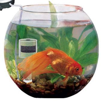 Живучей карася рыбы нет (все золотые рыбки это измененный карась. самка.