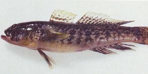 Рыба бычок кругляш.